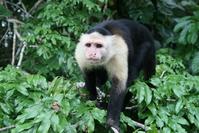 Capuchin Monkey, Panama