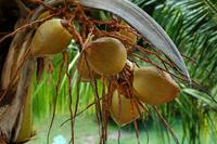 Caribean coconut