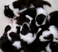 lying puppies
