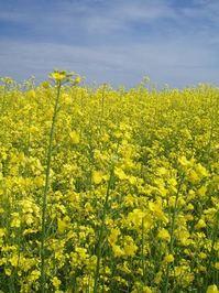 yellow fields 1
