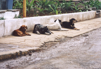 cuba_dogs