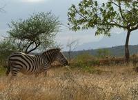 A wild Zebra in Africa
