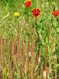 Firewheel Blooms
