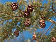 TreeCloseup 4