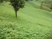 Beans field