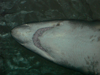 shark belly