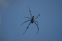 BEATIFUL SPIDER, FLOATING IN WEB AT OAXTEPEC