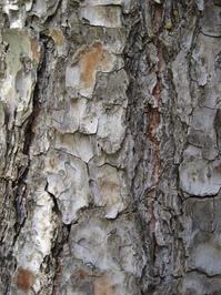 Tree rind