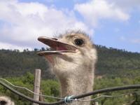 Ostrich Face 1