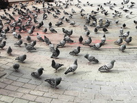 Ankara pigeon