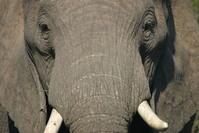 Addo Elephant 103