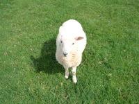 contrasting lamb