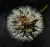 Dandelion clock sphere 2