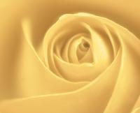 Soft Cream Rose