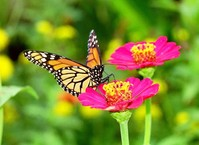 Monarch on San Rafael