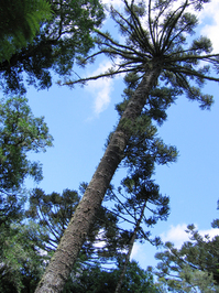 Araucaria Tree 2