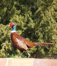 Pheasant Day