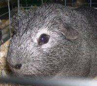 Guinea Pigs 5
