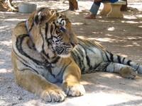 Thai tigers 3