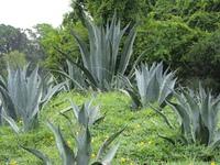 Maneating plants gathering
