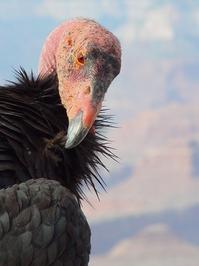 california condor 4