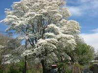 DogWood Tree 3