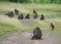 baboon herd