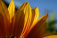 sunflover 1