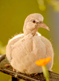 Turtledoves 11