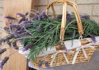 Fresh Lavender In Basket