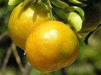 Tangerina - Fruta tropical