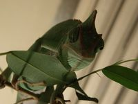 coquettish chameleon