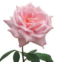 Rose 023