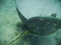 Sea Turtle 4