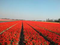 Scarlet tulips field
