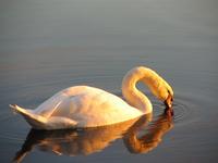 Swan - II