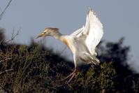 a white heron 2