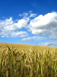 corn_field 5