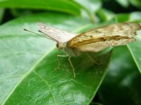butterflies 6