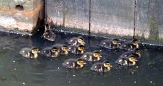 Little ducks 2
