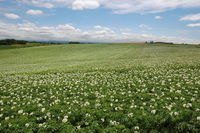 Potato landscape, Hokkaido, Japan