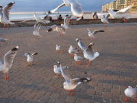 Big White Seagulls