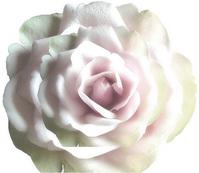 Rose on Rose 1