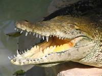 Crocodile mouth