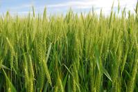 Green Field Before Harvest