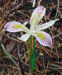 wildflower orchid like