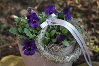 Horned violets 1