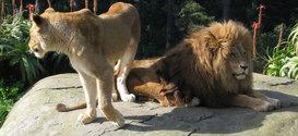 Lions [duet]