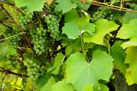 Grapes - Winogrono