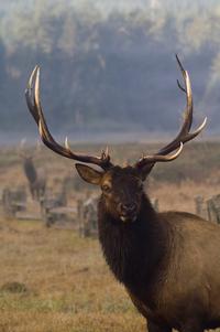 Roosevelt Elk 2